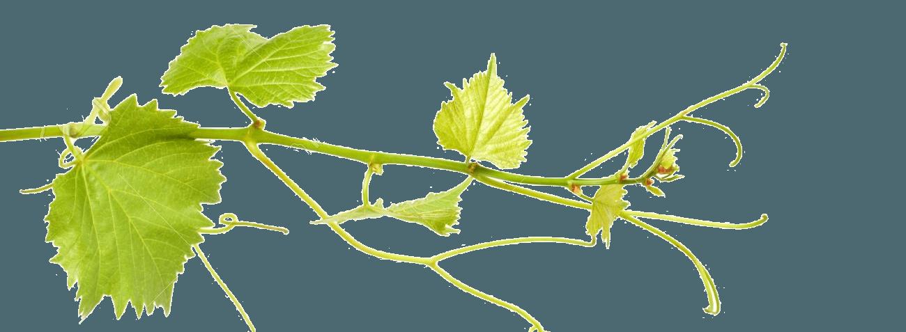 виноград лоза